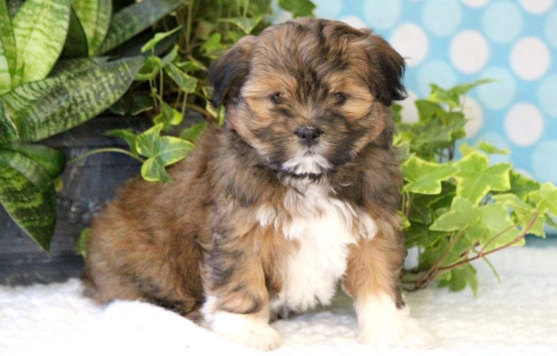Havanese Puppies For Puppy