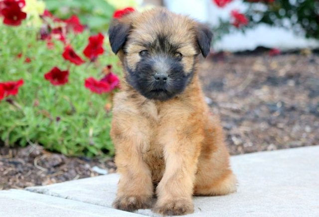 Soft-Coated-Wheaten-Terrier.jpg