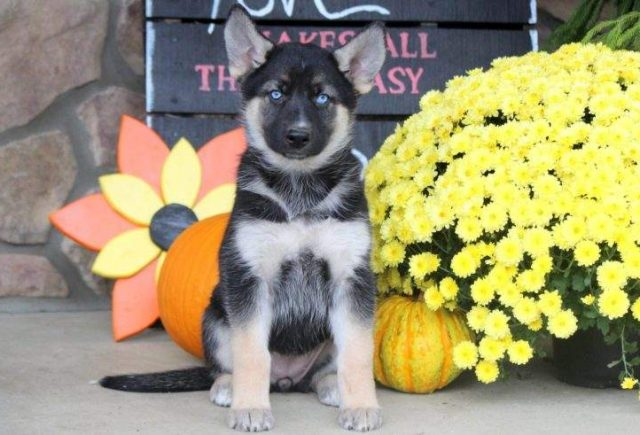 Gerberian Shepsky Puppies For Sale | Puppy Adoption | Keystone Puppies