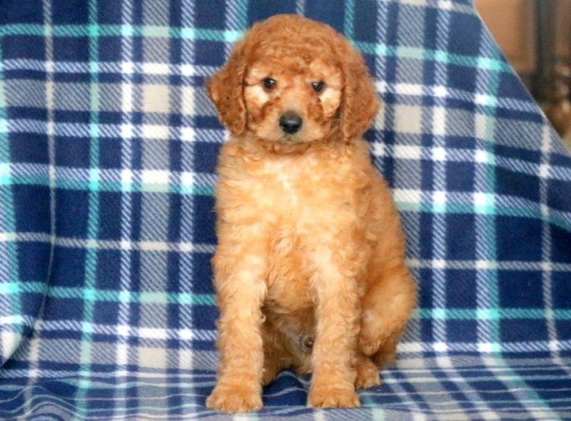 Poodle Standard Puppies For Sale Puppy Adoption