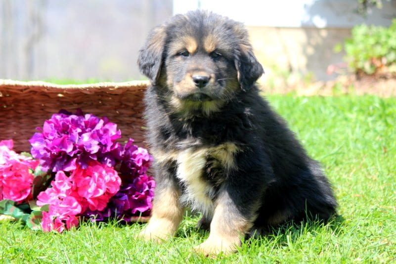 Tibetan Mastiff Puppies For Sale | Puppy Adoption | Keystone Puppies