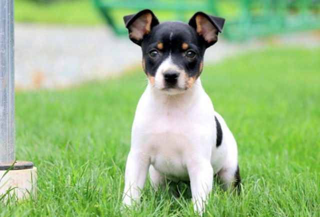 Toy-Fox-Terrier-1.jpg