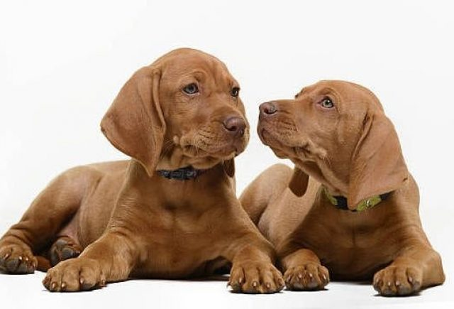 Vizsla-Puppies.jpg
