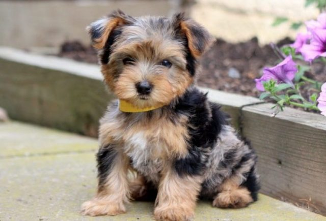 Yorkie-Mix-Breed-e1518960834808.jpg