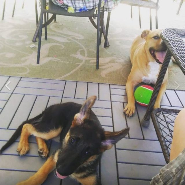 GSD puppy – great experience – wonderful dog