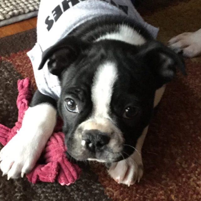 We love our Boston Terrier from Keystone Puppies