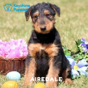 airedale-terrier-healthy-responsibly-bred-Pennsylvania