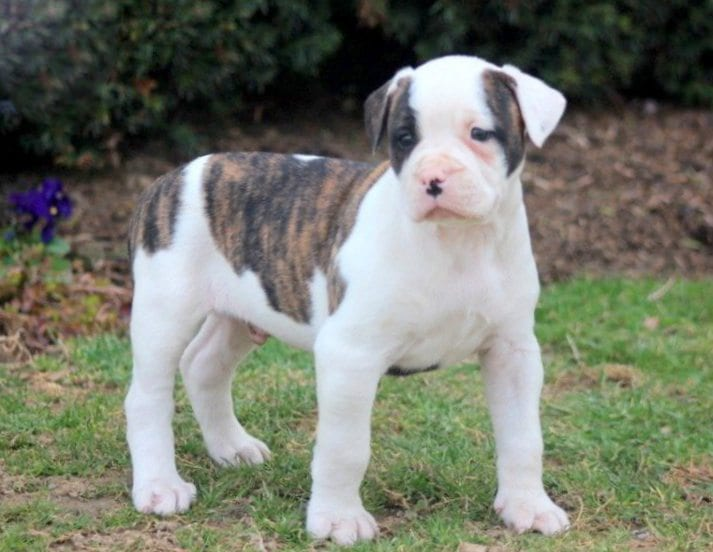 American Bulldog Puppies For Sale Puppy Adoption Keystone Puppies