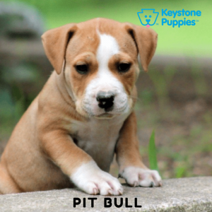 American-Pit-Bull-Terrier-Keystone-Puppies-Puppies-for-sale-Pennsylvania