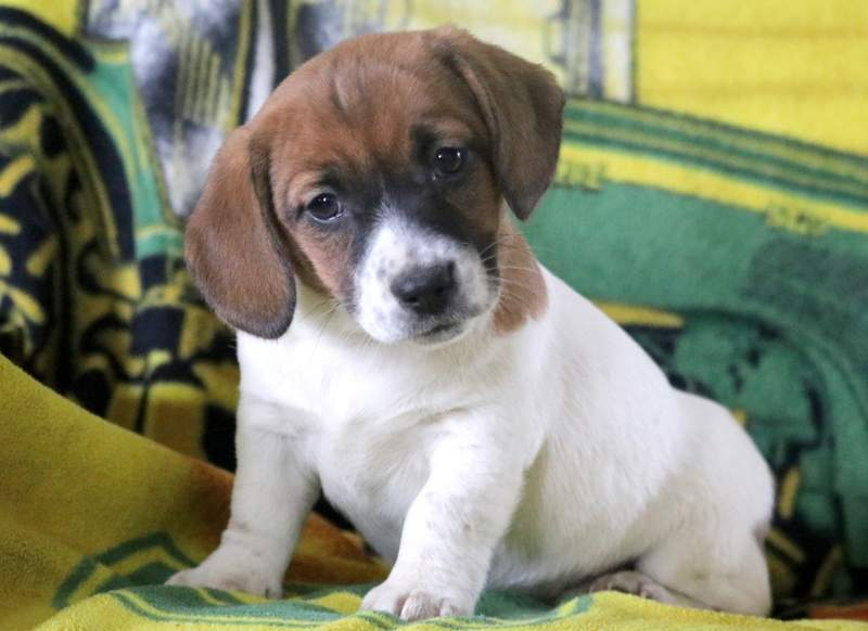 Ava Jack A Bee Puppy For Sale Keystone Puppies