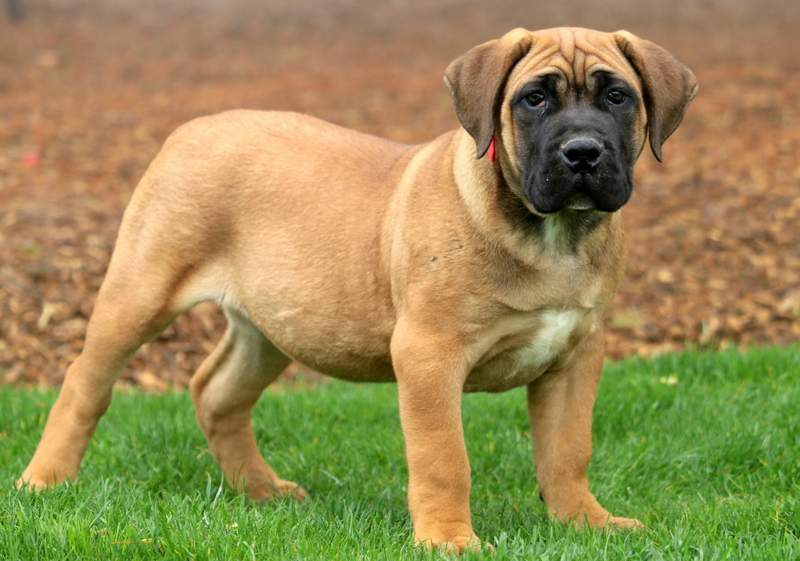 Beauty Boerboel South African Puppy For Sale Keystone Puppies