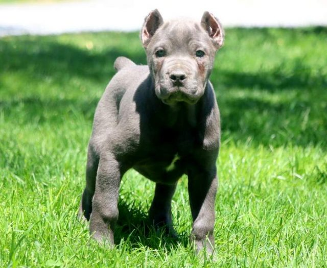 Blue Cane Corso Puppy For Sale Keystone Puppies