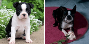 boston-terrier-pushkin-healthy-responsibly-bred-Pennsylvania