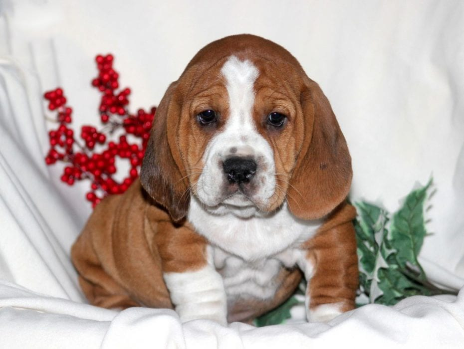 Bully Basset Puppies For Sale Puppy Adoption Keystone Puppies