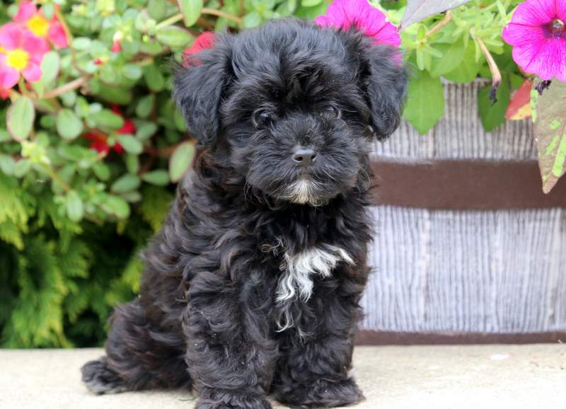 Buttercup | Havapoo Puppy For Sale | Keystone Puppies