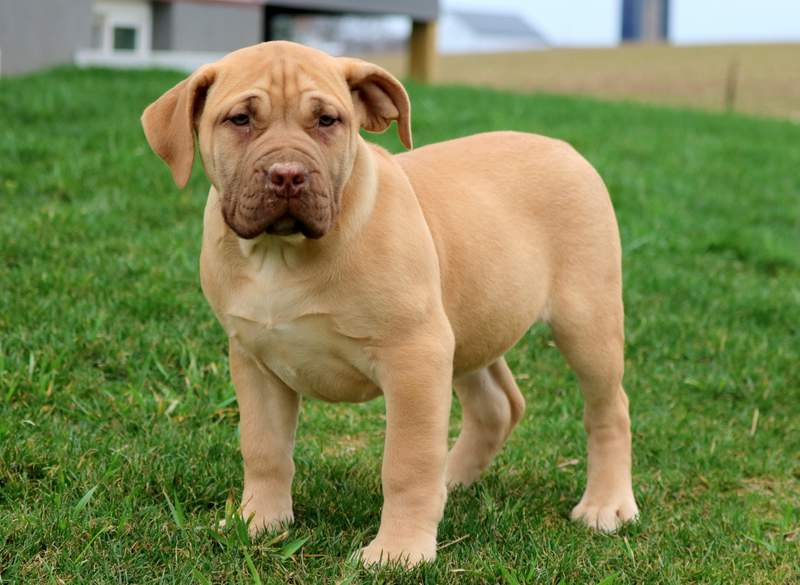 Candy Boerboel South African Puppy For Sale Keystone Puppies