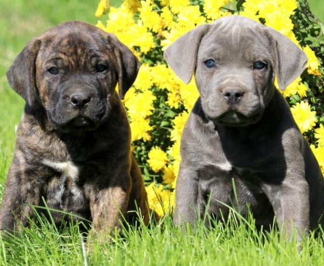Boerboel South African Puppies For Sale Puppy Adoption