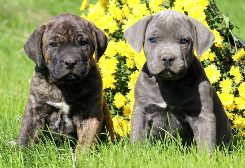 Cane Corso Puppies For Sale Puppy Adoption Keystone Puppies