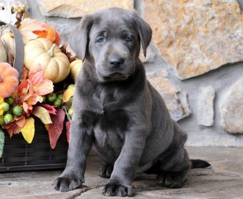 Labrador Retriever - Charcoal