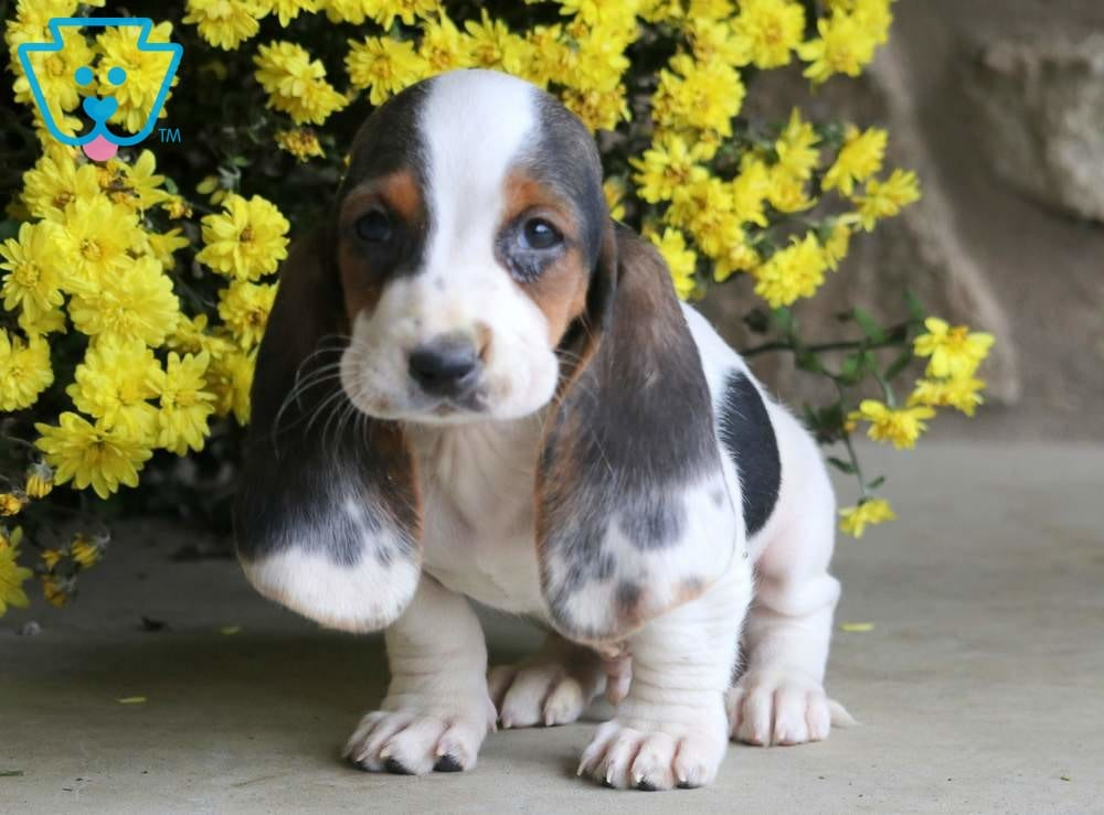 Chip Bet Hound Puppy For