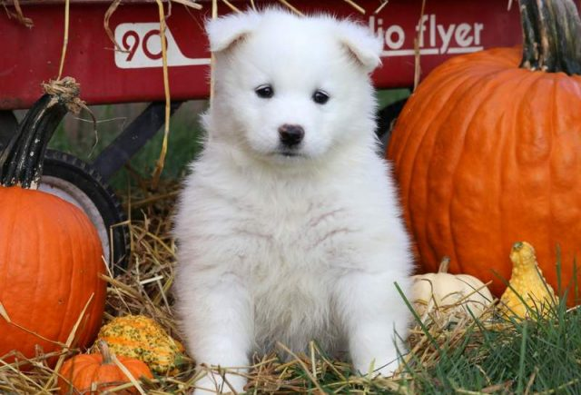 Cinderella-Samoyed-Working-Dog-Breed-AKC