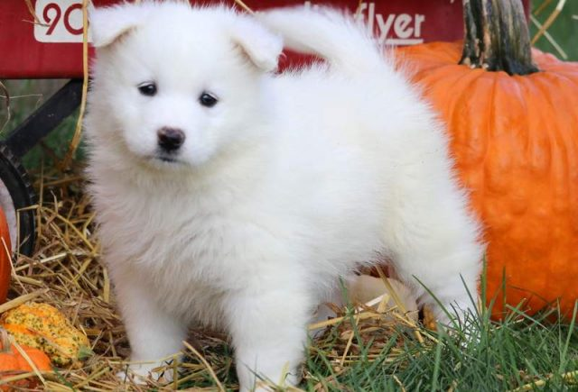 Cinderella2-Samoyed-Working-Dog-Breed-AKC