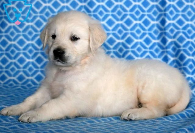 Dagger-Golden-Retriever-Sporting-Dog-Breed-AKC-English-Cream