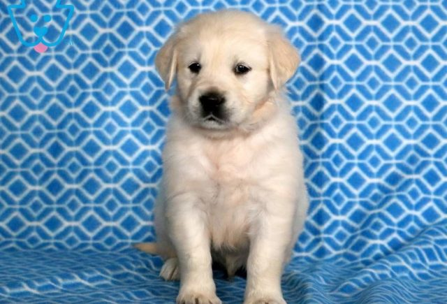 Dagger2-Golden-Retriever-Sporting-Dog-Breed-AKC-English-Cream