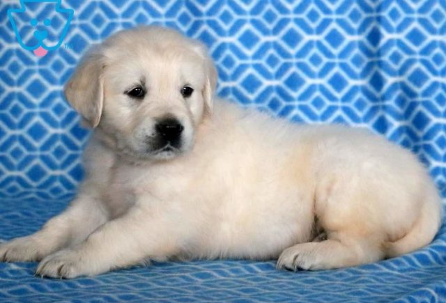 Dagger3-Golden-Retriever-Sporting-Dog-Breed-AKC-English-Cream
