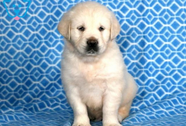 Devin-Golden-Retriever-Sporting-Dog-Breed-AKC-English-Cream