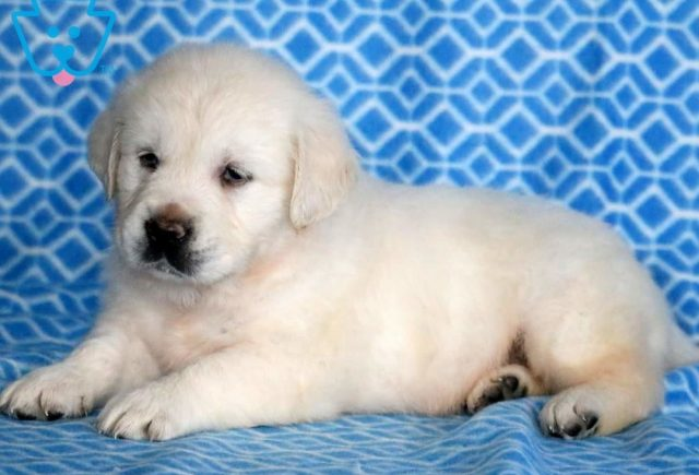 Devin2-Golden-Retriever-Sporting-Dog-Breed-AKC-English-Cream
