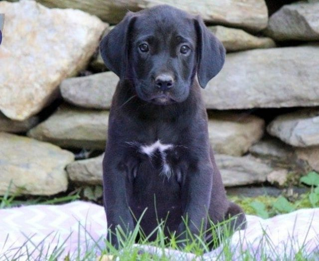 Dove Cane Corso Mix Puppy For Sale Keystone Puppies