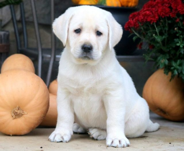 Labrador Retriever - English Cream