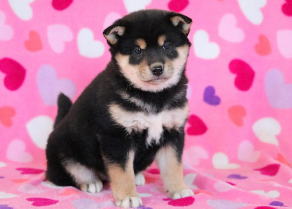 Georgia | Shiba Inu Puppy For Sale | Keystone Puppies