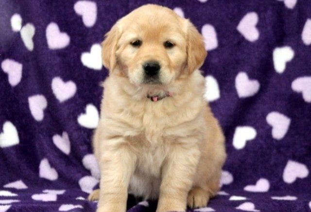 Golden Retriever Mix Category
