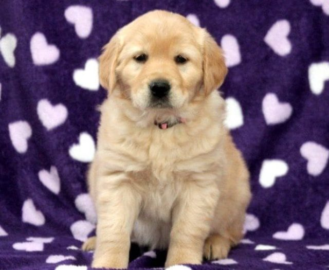 Golden Retriever - Petite Puppies For Sale | Puppy Adoption