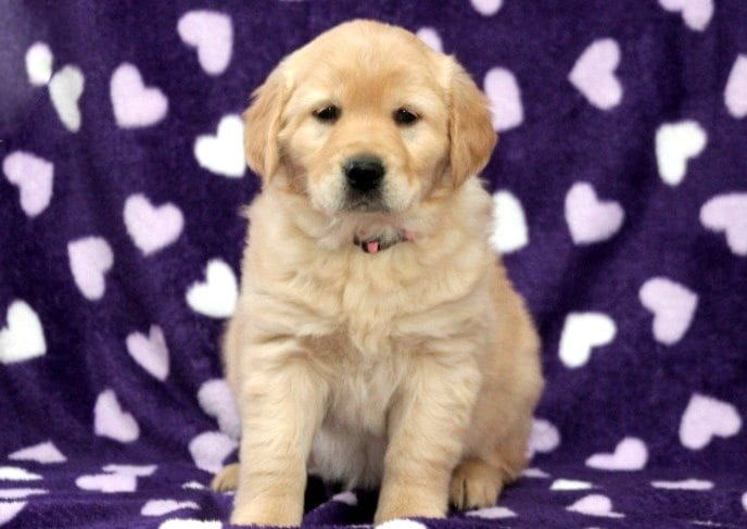 Golden Retriever Mix Puppies For Sale Puppy Adoption Keystone