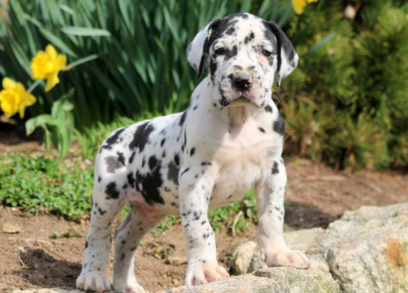 Great Dane Puppies For Sale | Puppy Adoption | Keystone Puppies