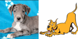 great-dane-marmaduke-healthy-responsibly-bred-Pennsylvania