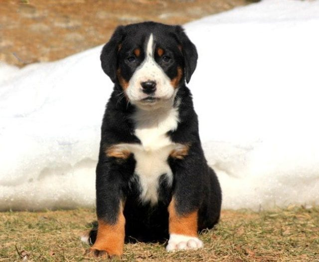 Greater Swiss Mountain Dog Mix