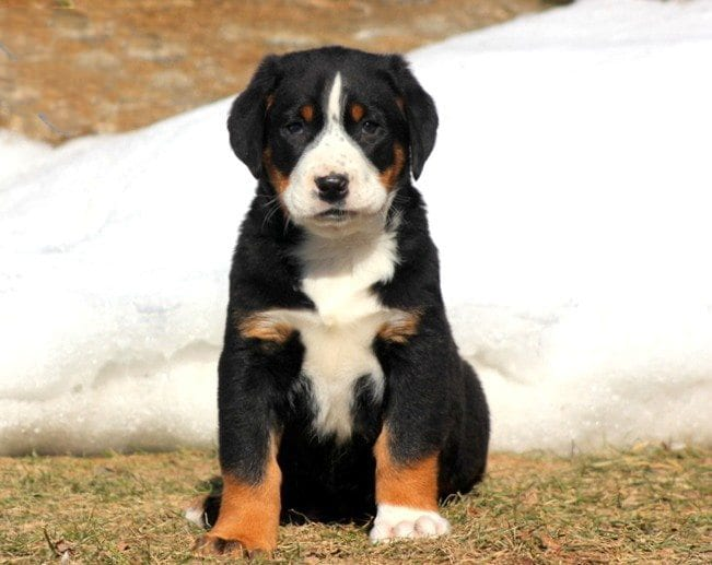 Greater Swiss Mountain Dog Mix Puppies For Sale Puppy
