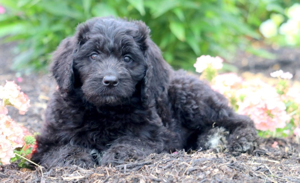 Haley Newfypoo Puppy For Sale Keystone Puppies