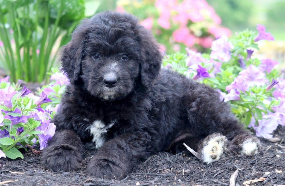 Hastin Newfypoo Puppy For Sale Keystone Puppies