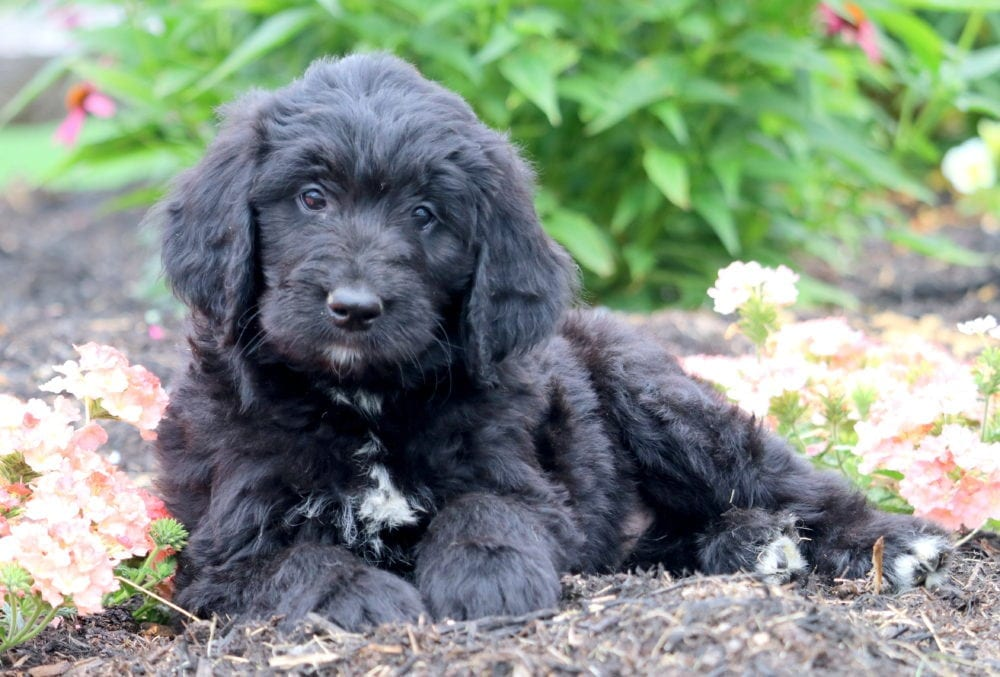 Hoops Newfypoo Puppy For Sale Keystone Puppies