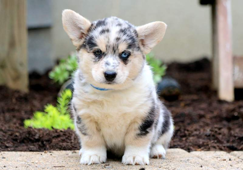 Horgi Puppies For Sale | Puppy Adoption | Keystone Puppies
