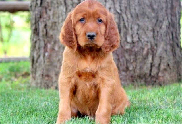 Irish Setter Category