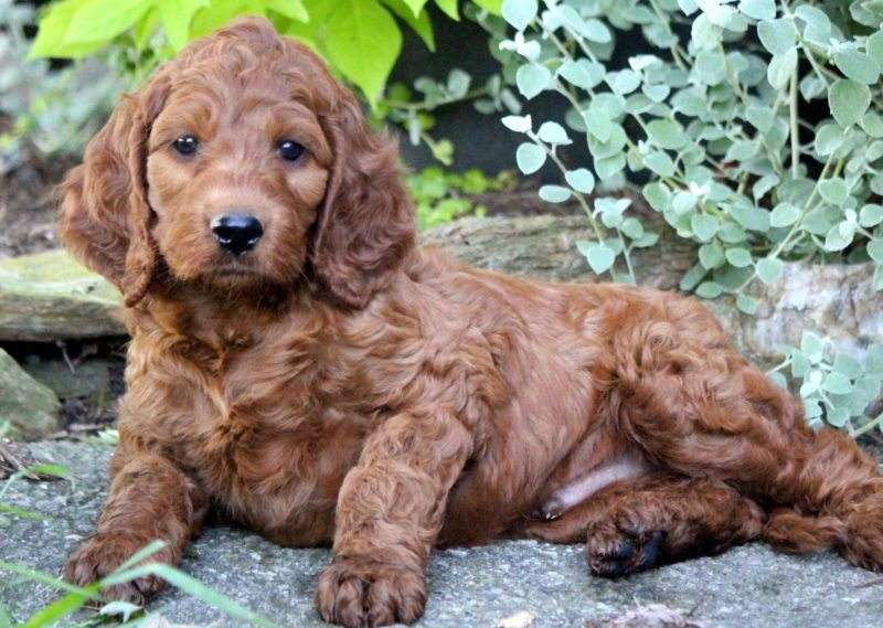 Irishdoodle Puppies For Sale Puppy Adoption Keystone Puppies