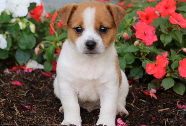 Jack Russell Mix Category