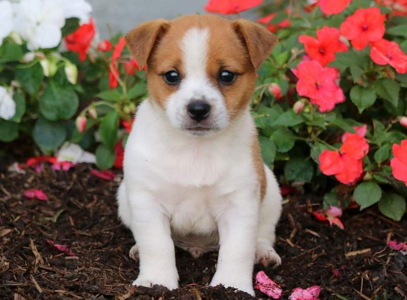 Jack Russell Mix Puppies For Sale | Puppy Adoption