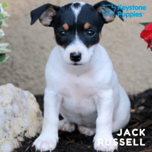 jack-russell-terrier-healthy-responsibly-bred-Pennsylvania